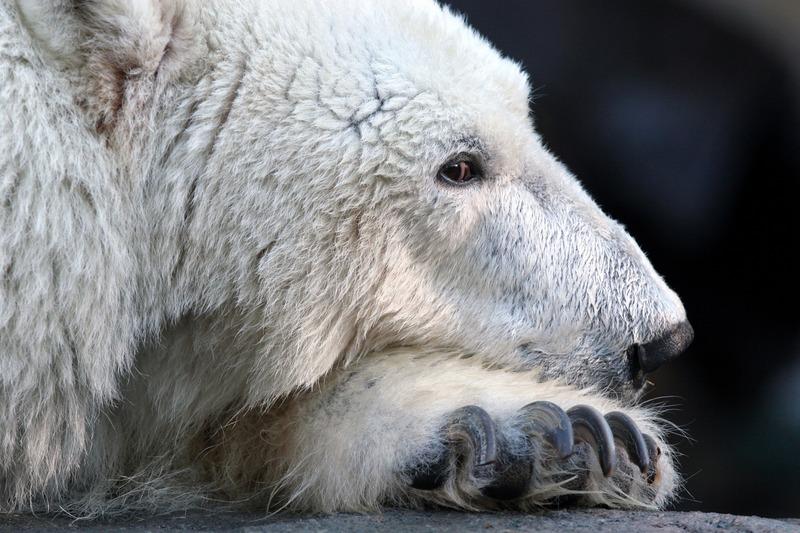 Polar Bear Reverse
