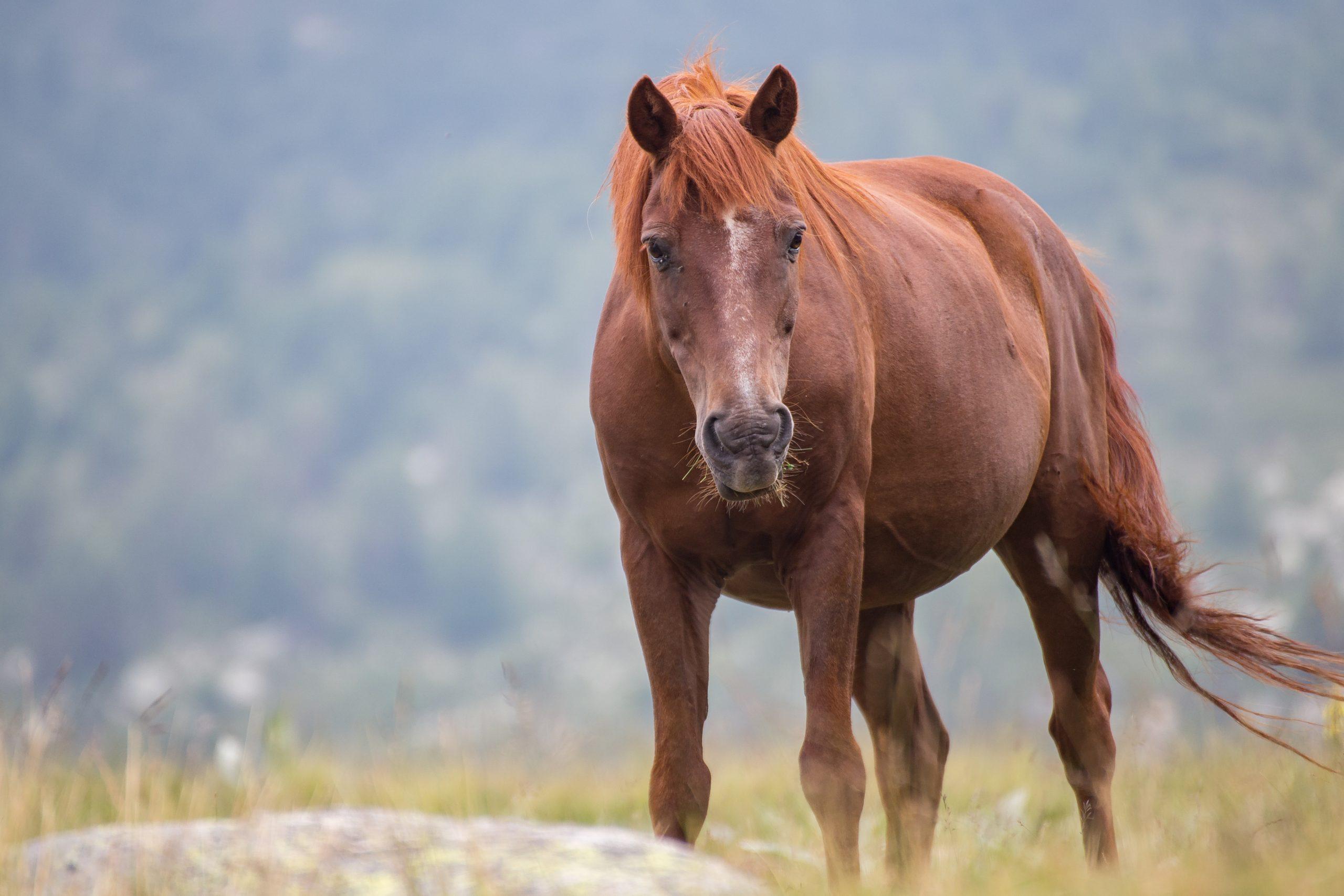 Wild free horses eating and walking in Pirin mountain, Bulgraia. Moving around.